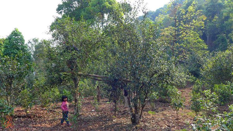 Manmai tea garden