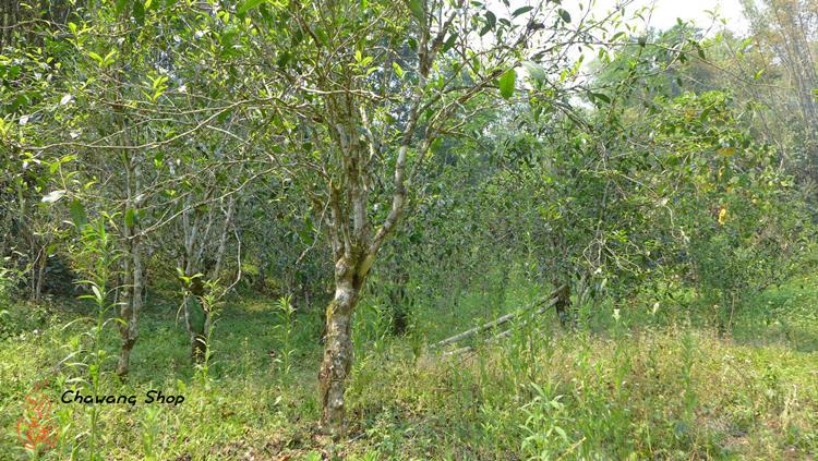 Manzhuan Tea garden