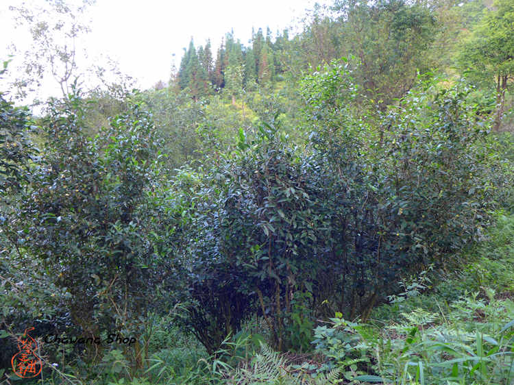 Nannuo mountain Tea Garden