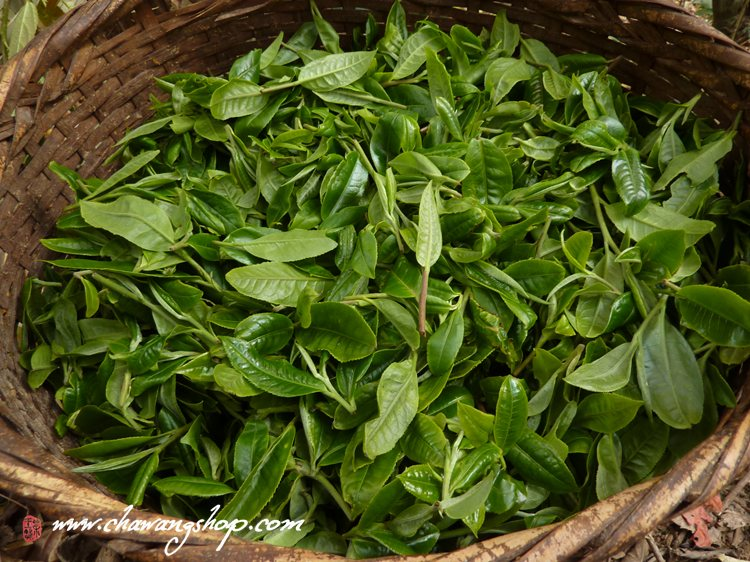 Mengsong Tea Gardon