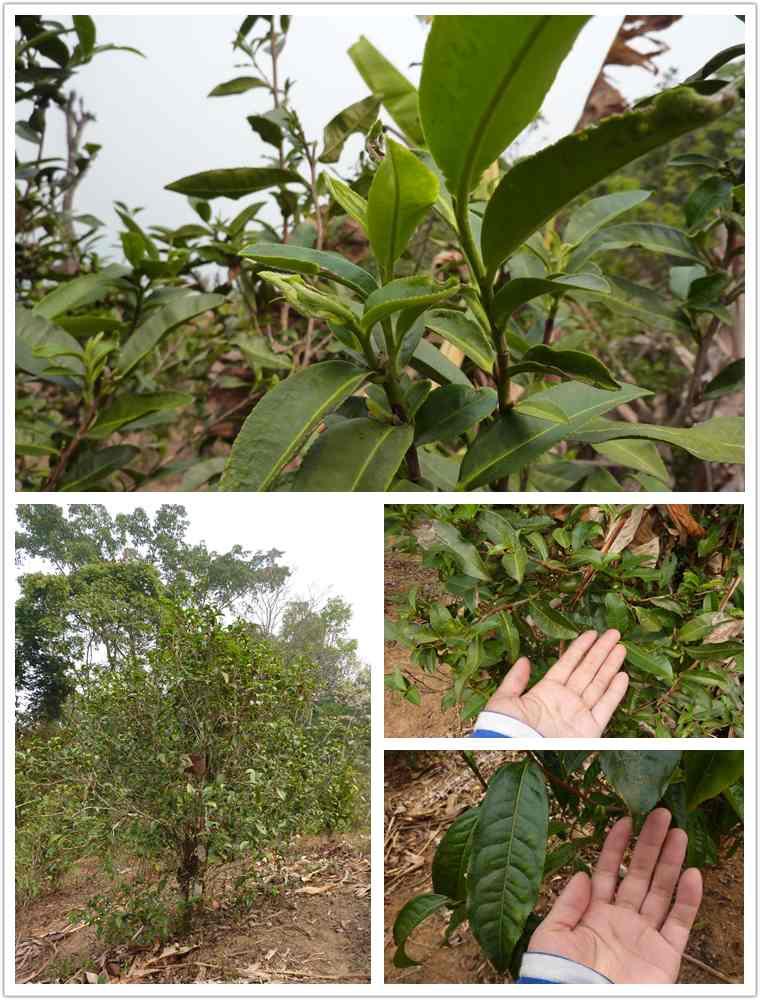 tea trees