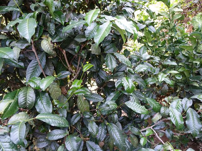 Bada Dark Leaf Puerh Tea